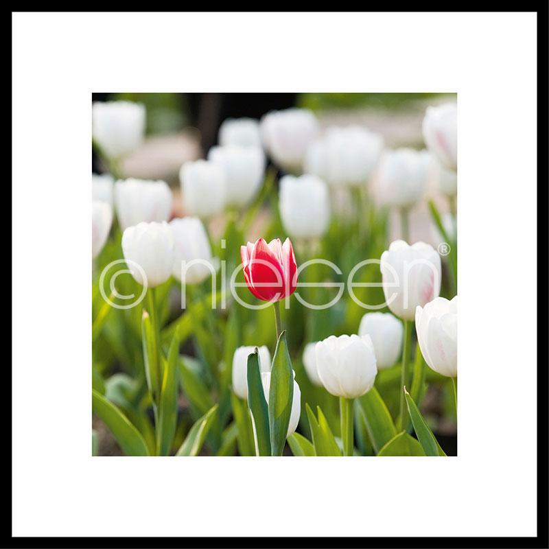 "Image encadrée ""Tulips"" avec cadre en aluminium C2"