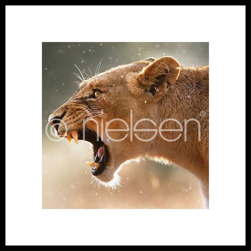 """Image encadrée """"Lioness"""" avec cadre en aluminium C2"""
