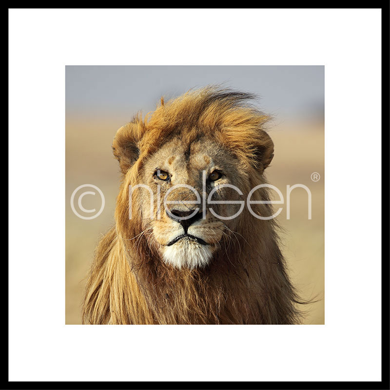 """Image encadrée """"Lion"""" avec cadre en aluminium C2"""