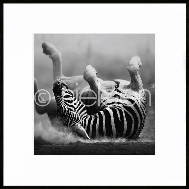 "Image encadrée ""Zebra lying"" avec cadre en aluminium C2"