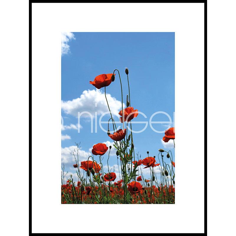 "Image encadrée ""Field of Poppy Flowers"" avec cadre en aluminium C2"