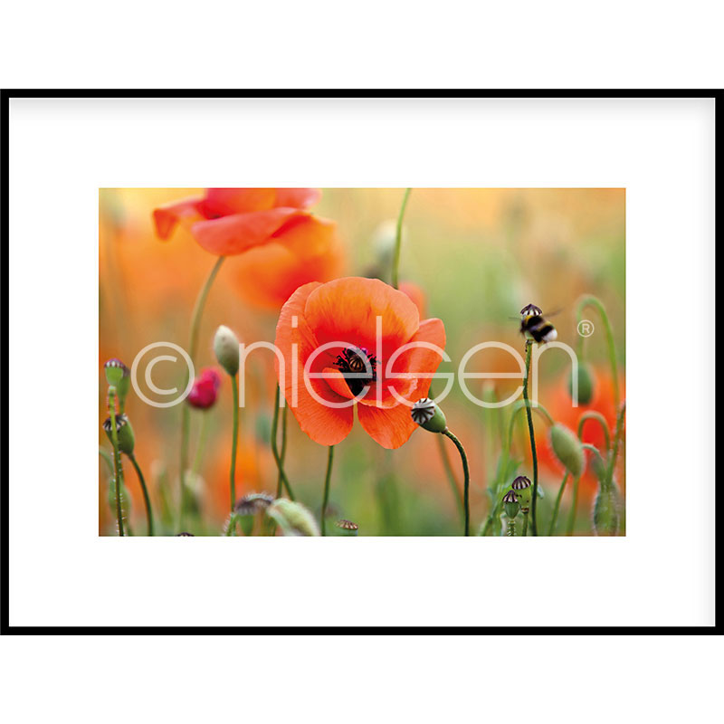 """Image encadrée """"Poppy Flower"""" avec cadre en aluminium C2"""